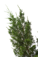 branch of pine or fir tree on white isolate background