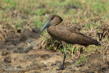 A Hamerkop (Scopus umbretta) standing on dried mud
