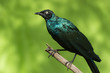 A Long-Tailed Starling (Lamprotornis chalcurus) perched on a bra