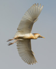 A scruffy Cattle Egret (Bubulcus ibis) showing its underside in