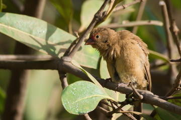 Female Red-billed Firefinch (Lagonosticta senegala) mimicking sc