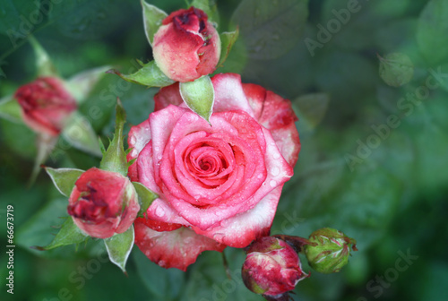 canvas print picture Beautiful roses in garden after rain.