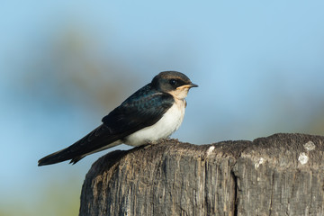 Wire-tailed Swallow juvenile (Hirundo smithii) perched on a wood