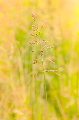 Gramineae Herbs in the Meadow