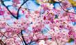 Sakura flowers