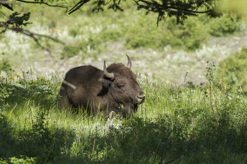 Bison lays in the shade.