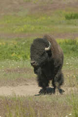 Bison standing in field.