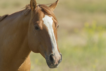 A close up portrait of an adult horse near Dixon, Montana.