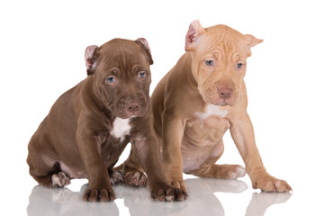 two american pit bull terrier puppies with cropped ears