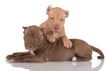 two pit bull puppies with cropped ears