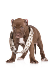 tough pit bull puppy in a spiked collar