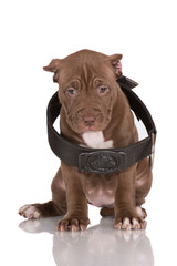 american pit bull terrier puppy in a big collar