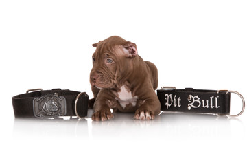 chocolate pit bull terrier puppy