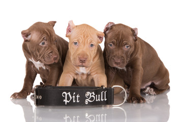 three pit bull puppies with cropped ears