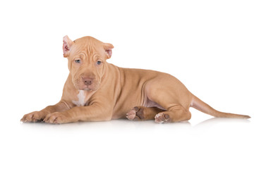 american pit bull puppy lying down