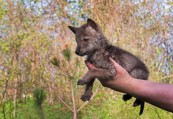 Coyote (Canis lantrans) Pup Held in Hand