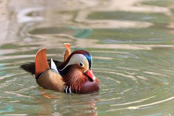 Mandarin Duck Drake