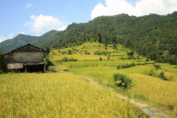Rice field-Phedi to Dhampus trek route-Nepal. 0468