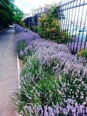 in the park along the alley grow fragrant lavender bushes