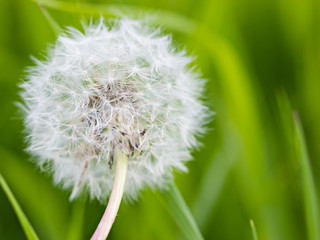 White dandelion head against blurry green background