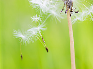 Dandelion head with parachutes