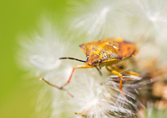 Orange bug on dandelion