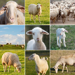 Many photos of sheeps on the field