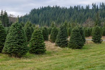 Evergreen tree farm growing fir trees