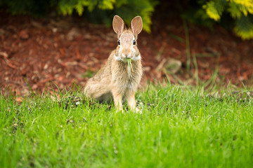 Young Healthy Wild Rabbit eating fresh Grass from Yard