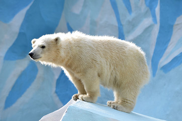Белый медвежонок,