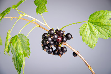 black currant on a branch