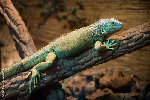 Staande foto Kameleon iguana