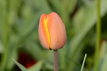 Lone tulip waiting to open