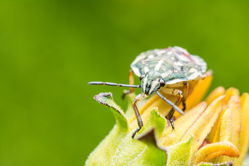 Shield Bug Sitting On Yellow Flower Close Up