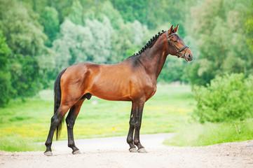 Beautiful bay stallion