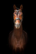 Portrait of bay stallion on black background - 66694117