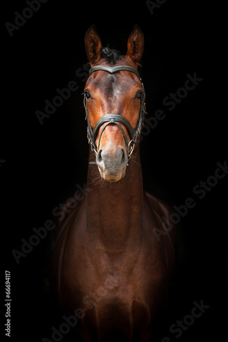 Plexiglas Paardensport Portrait of bay stallion on black background