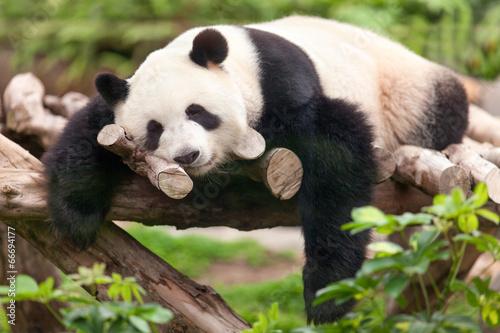 Fotobehang Panda Großer Panda