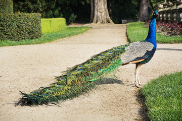 Beautiful peacock posing in the castle garden