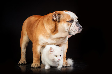 English bulldog with white cat