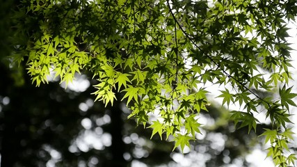 Green Maple Leaf and sunlight