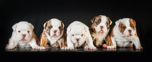 Five english bulldog puppies