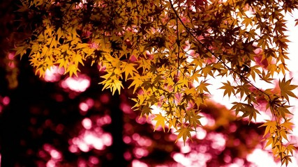 yellow Maple Leaf and sunlight