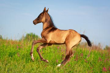 Akhal-Teke horse