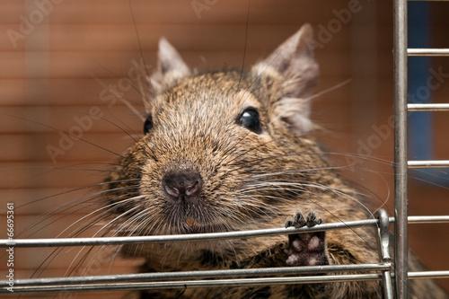 Fotobehang Eekhoorn degu pet
