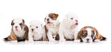 Five english bulldog puppies - 66695517
