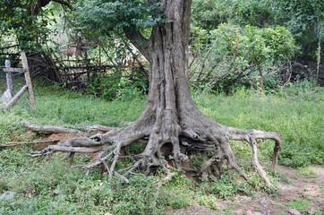tree trunk with roots in asia