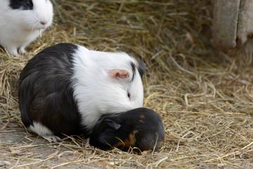 Meerschweinchen mit Jungtier