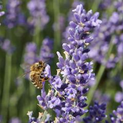 Bumblebee lavender flower