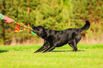 Black labrador playing with a toy